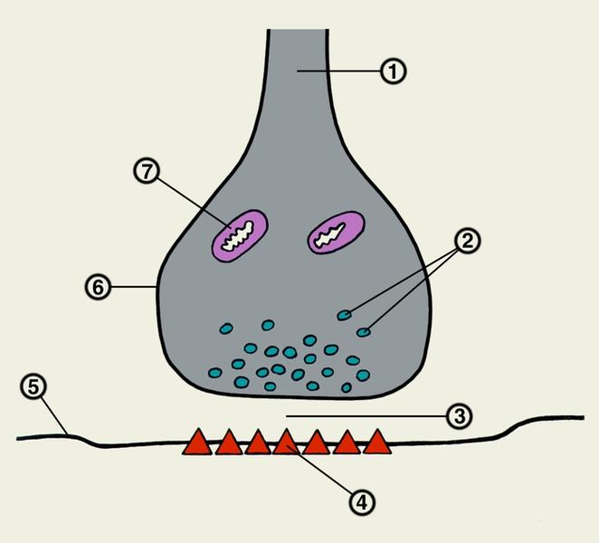 Межнейрональный синапс: 1