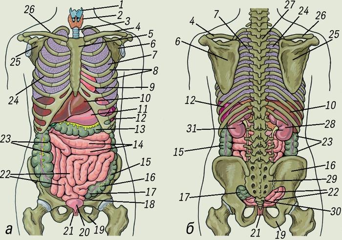 органов и скелета человека