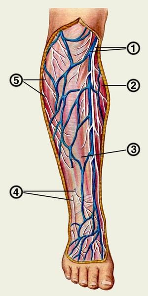 вена ноги и подкожный нерв