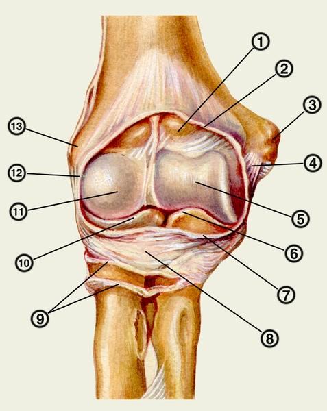 Топография локтевого сустава.