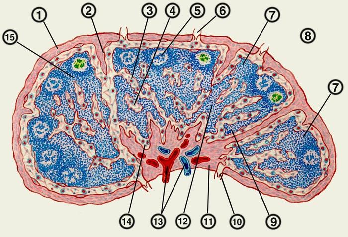 лимфатического узла