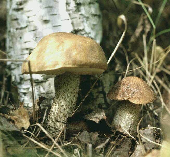 обабок гриб фото и описание