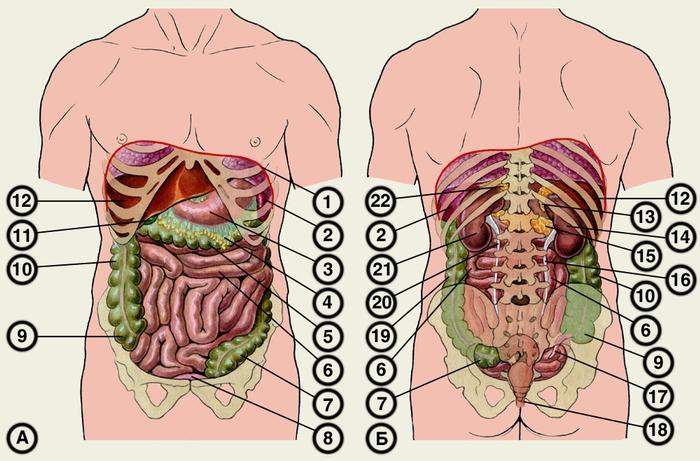 Топография органов живота: А