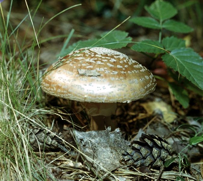 Ядовитые грибы мухомор пантерный