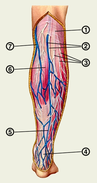 Поверхностные вены и нервы