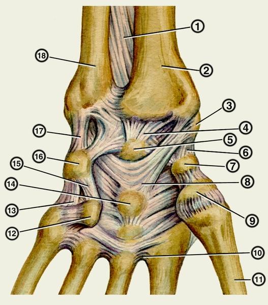сустава (кости и связки).
