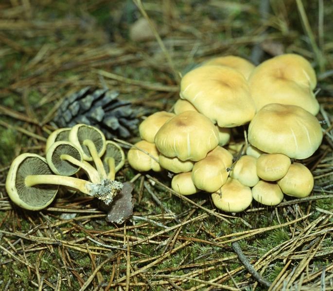 Ядовитые грибы опенок ложный