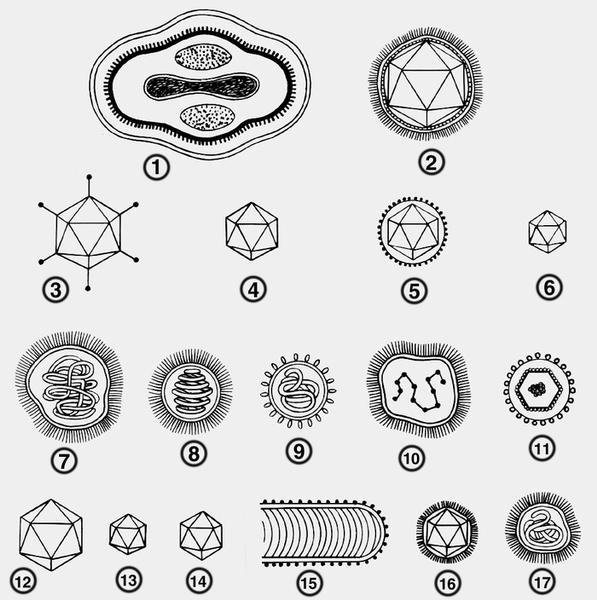 Схема строения вирусов