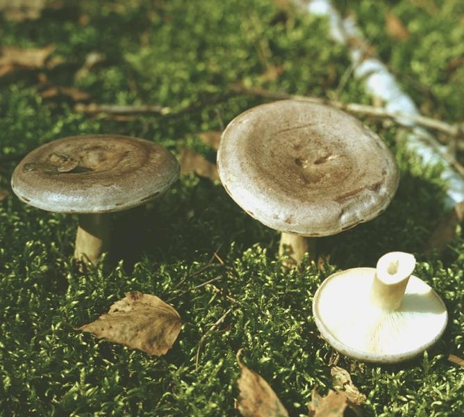Условно съедобные грибы груздь