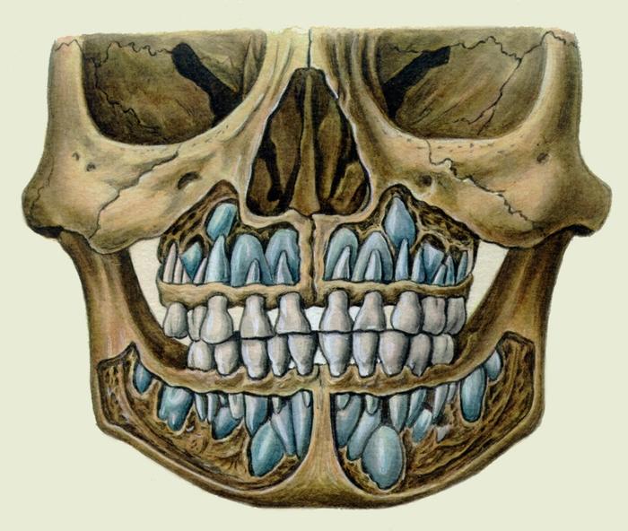 молочных зубов и зачатков