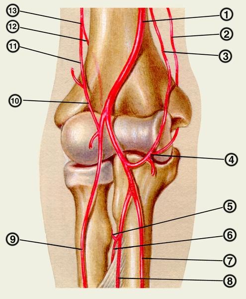 Артериальная коллатеральная сеть коленного сустава техника пункций в тазобедренный сустав