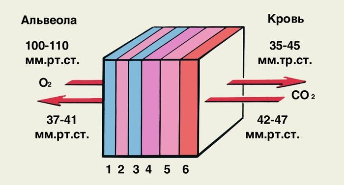 Схема диффузии газов крови