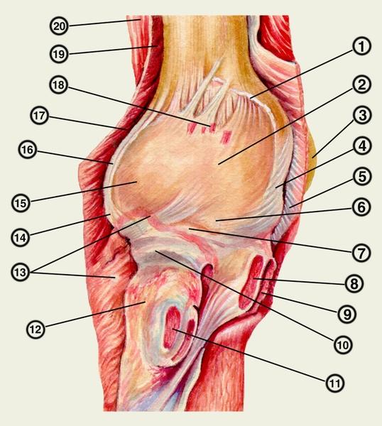 Схема локтевого сустава