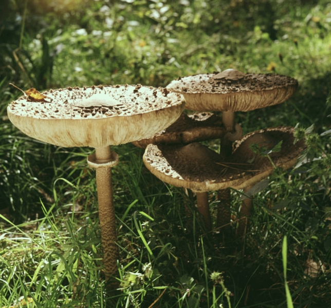 Съедобные грибы гриб зонтик пестрый