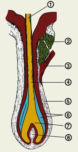 Рис. 1. Строение волоса (микроскопическая картина): 1 - стержень волоса; 2 - сальная железа; 3 - мышца...