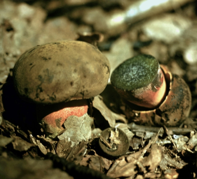 Съедобные грибы дубовик поддубник