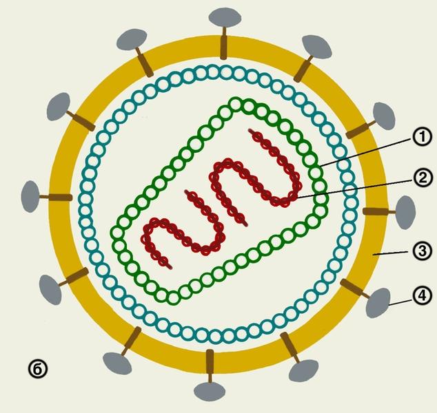 Схема строения вируса