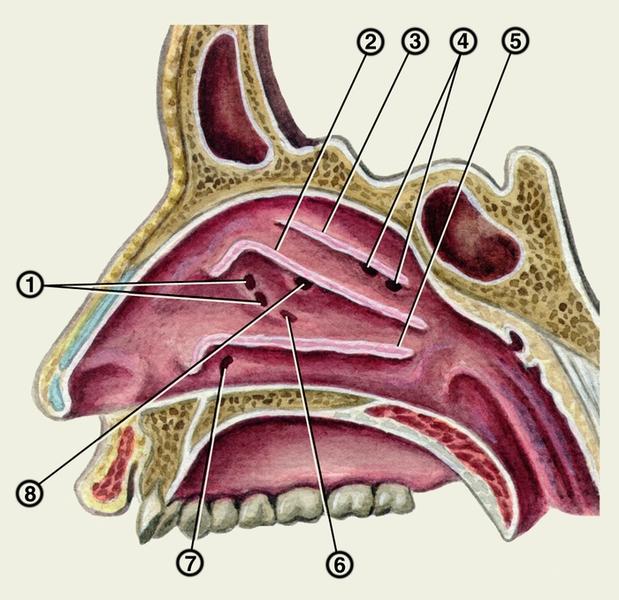 полости носа (большая