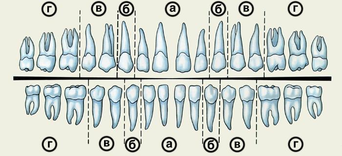 Рис. 1 Зубы.  Изображение зубных рядов взрослого человека (схема) .