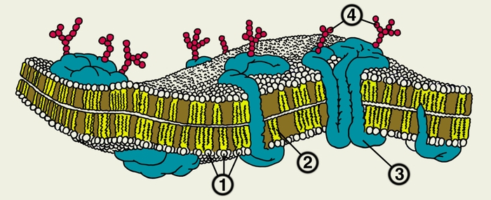 Схема строения плазматической