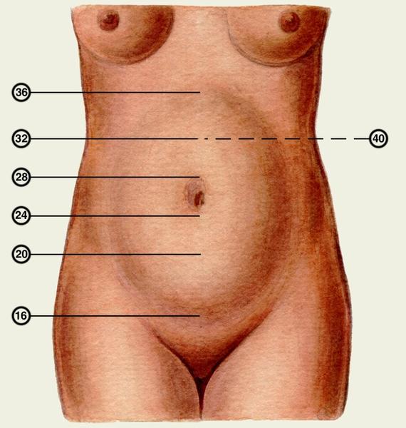 Матка на 16 неделе беременности где находится
