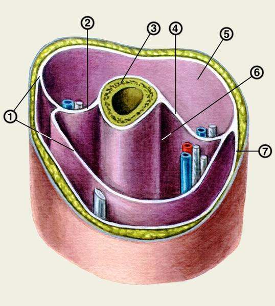 Схема костно-фасциальных