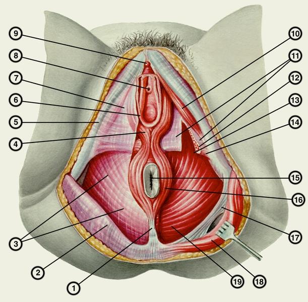 Мышцы и фасции промежности у