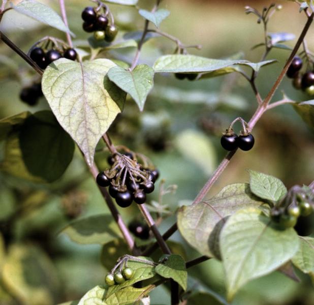 растение паслен черный картинки