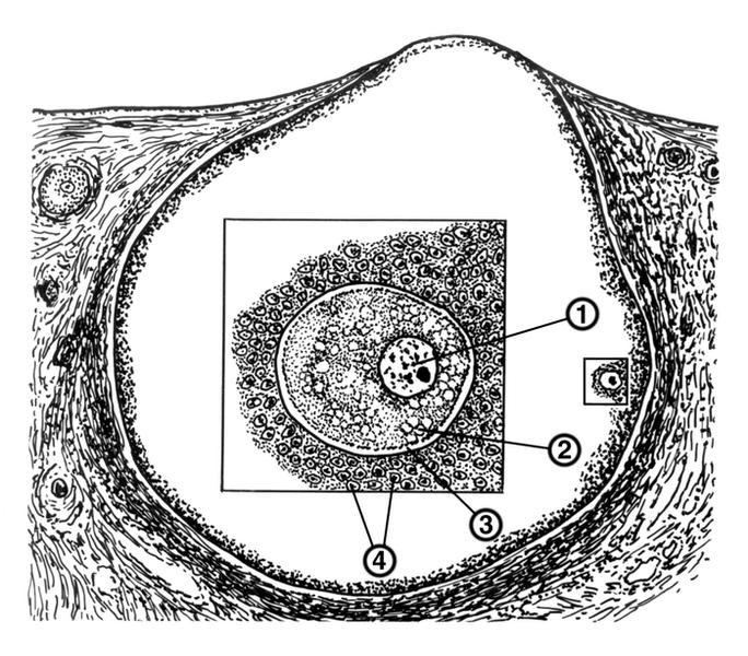 Схема фолликула яичника с