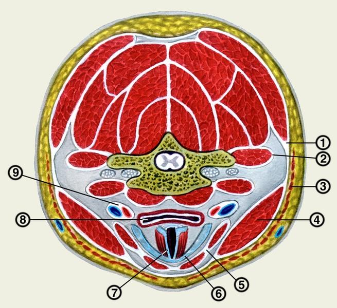 3 — подкожная мышца шеи;