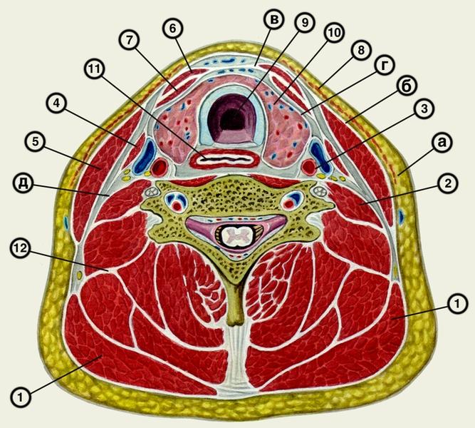 изображение фасций шеи на
