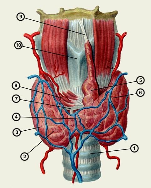Схема анатомических
