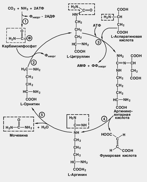 p>Рис. Схема цикла мочевины:
