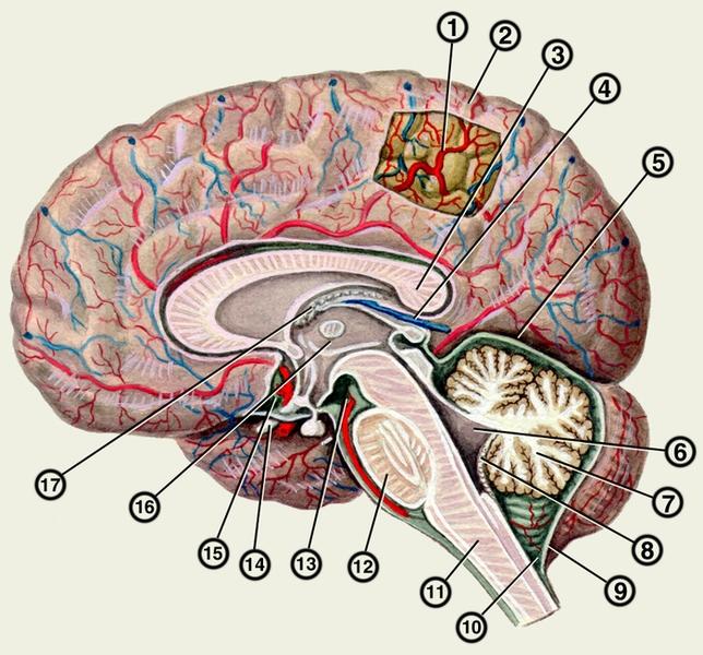разрез головного мозга;