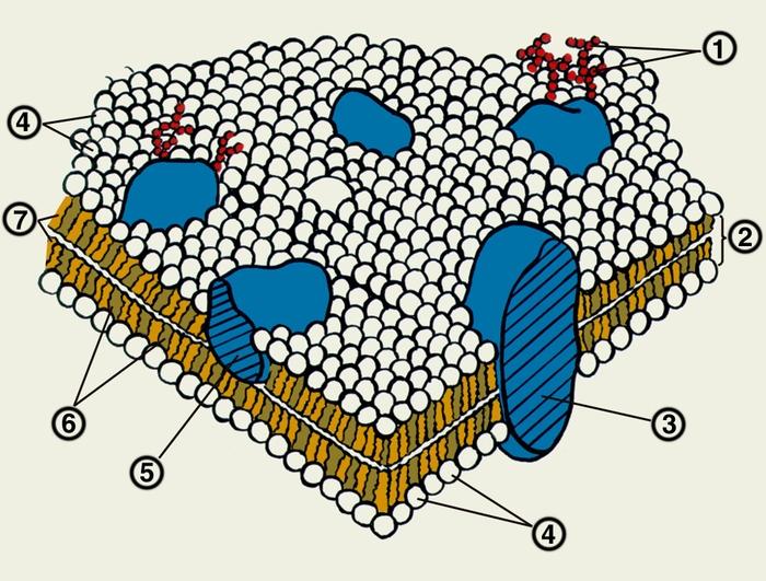 Схема строения биологической