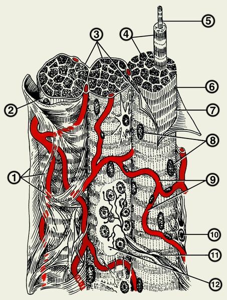 мышечной ткани: 1