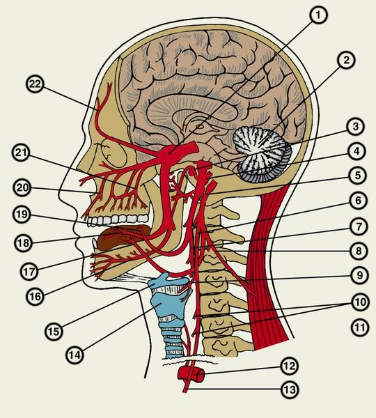 Нерв подъязычный фото