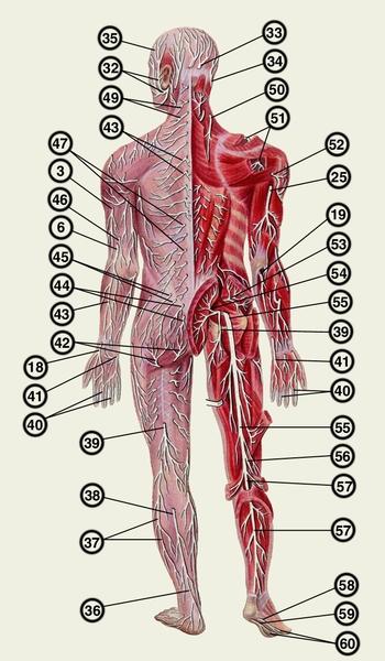нервов и их ветвей,