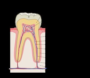 Зачем в зубе нерв?
