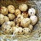 В чём польза перепелиных яиц