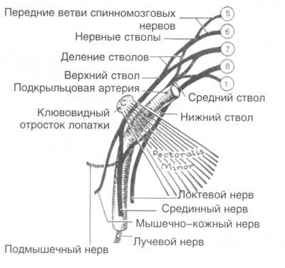 верхнего плечевого пояса: