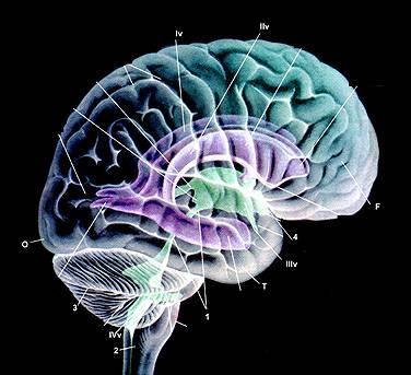 желудлчки гол мозга: