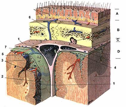 Схема спинно-мозговых нервов.