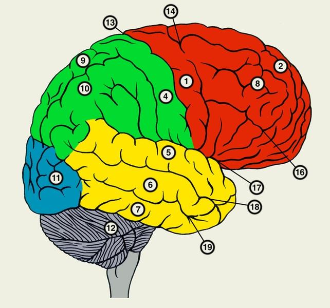 большие полушария мозга картинка кадре алена
