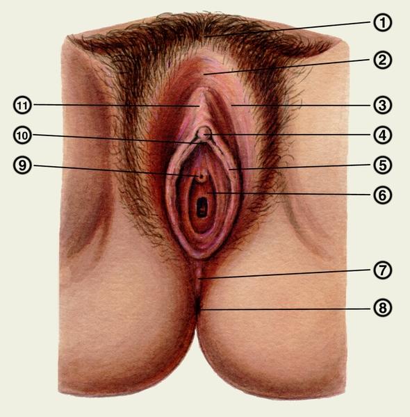 Женский половой орган подробней в картинках и видео